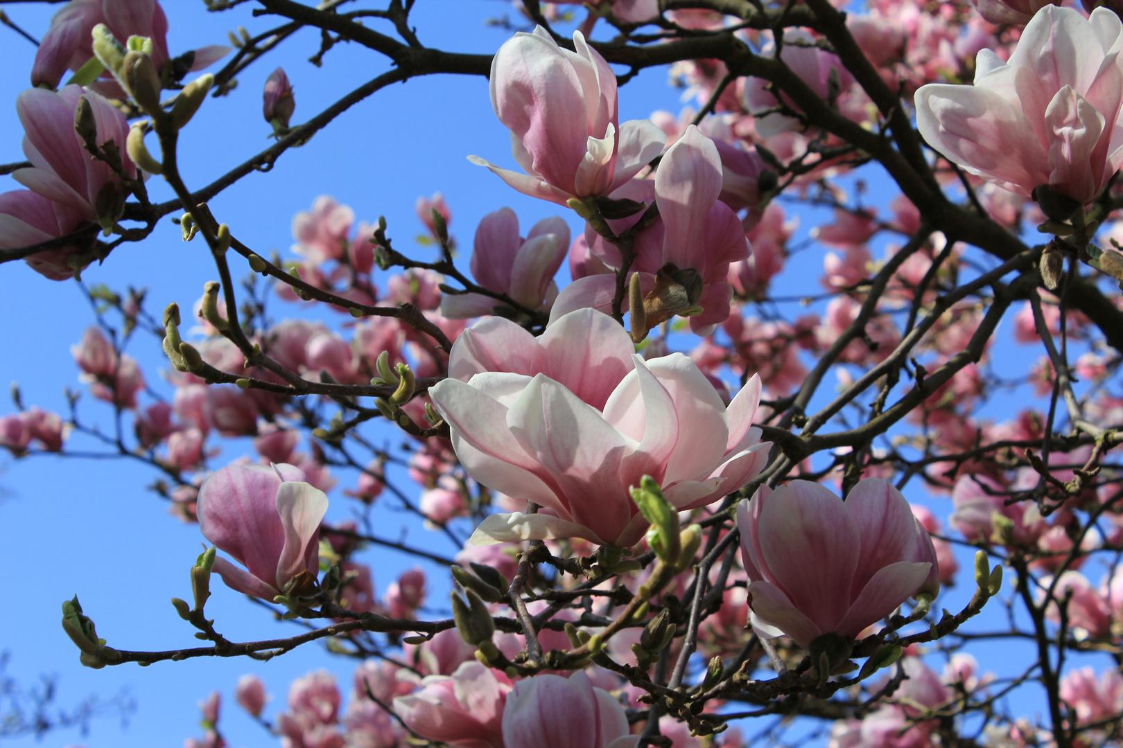wundervolle Magnolien