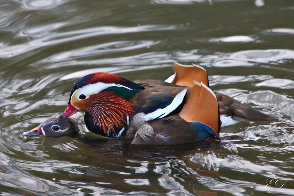 Wuppertaler Zoo Enten-Liebe