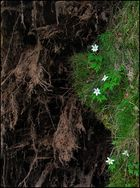 wurzelblumen