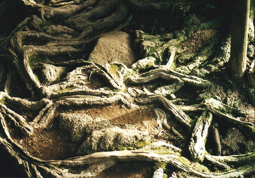 Wurzelgeflecht über Felsen