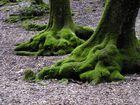 Wurzeln umbrischer alter Steineichen
