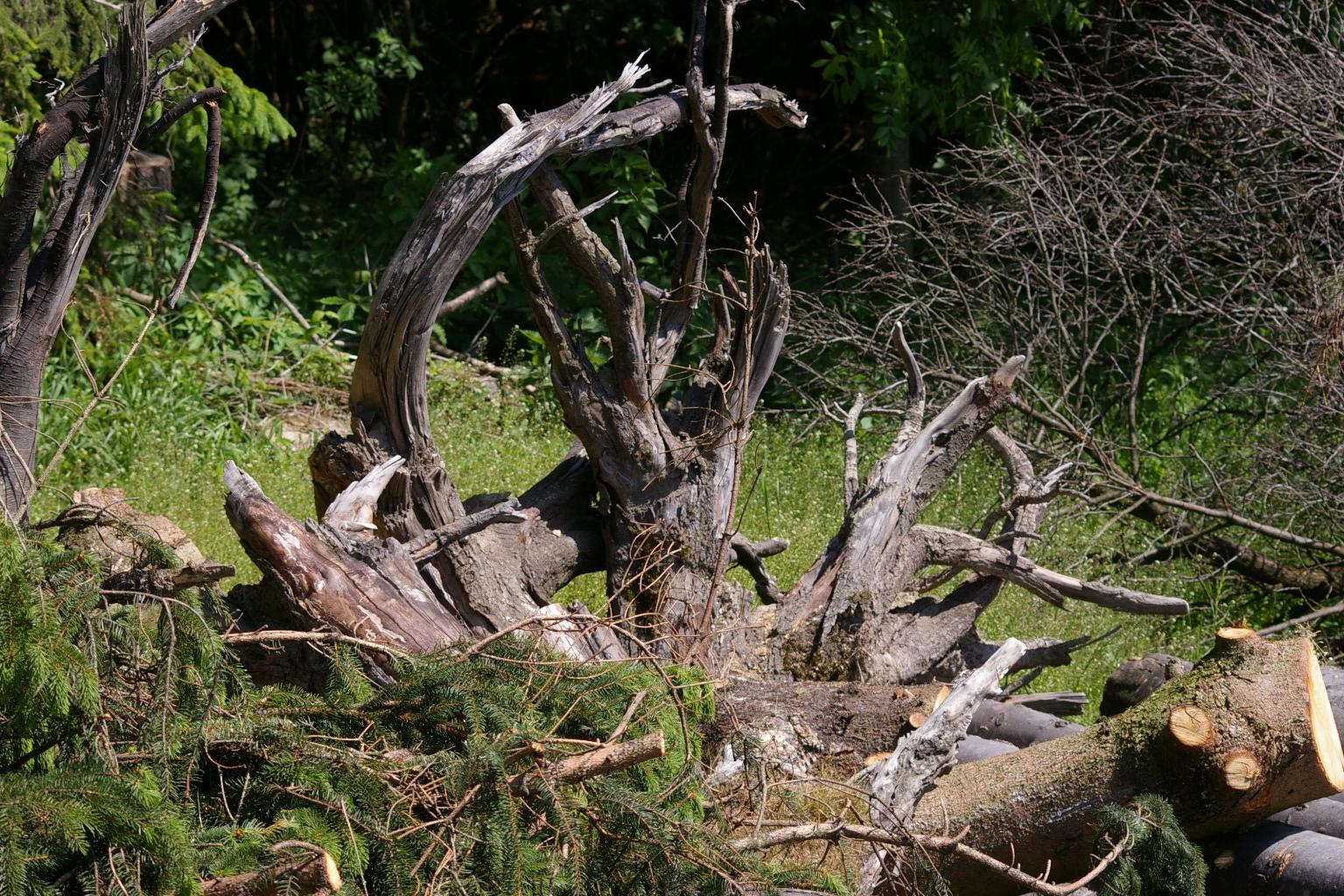 Wurzelstöcke am Waldrand