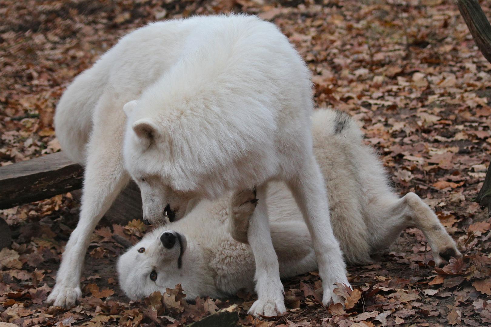 WW 8/9 - Die Rangkämpfe nehmen einen großen Teil des Energieverbrauchs der Wölfe ein.