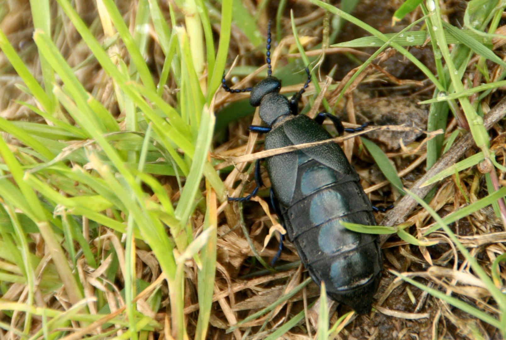 x-Käfer in voller Grösse