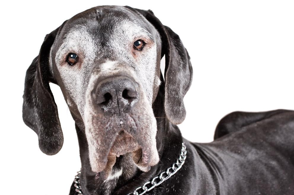 Xantos - auch eine Dogge - und ein Charaktergesicht - II