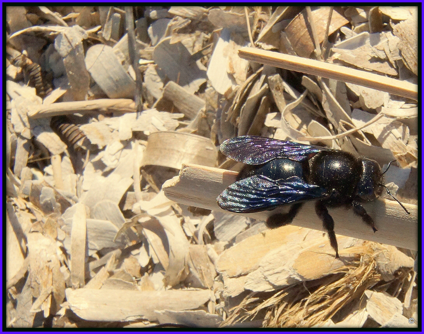 Xylocopa - oder auch Holzbiene