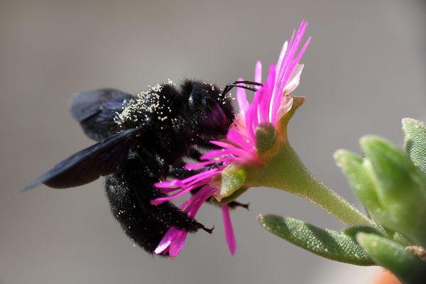 Xylocopa violacea - calabrone nero