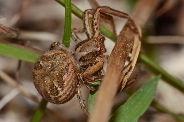Xysticus sp., eine Krabbenspinne ..