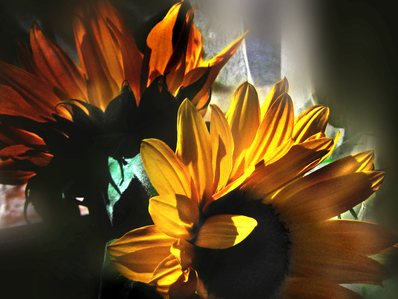 y el silencio lento amurallaba soledades: retratos de girasoles 3