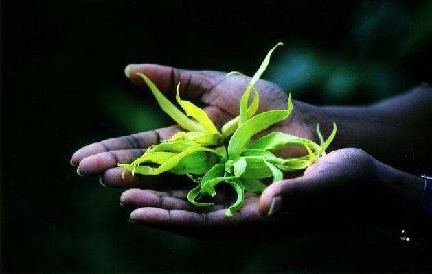 Y-Ylang die Blüte der aromatischen Öle