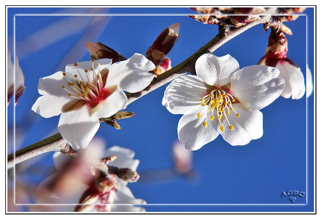 Ya han llegado las flores de Almendro