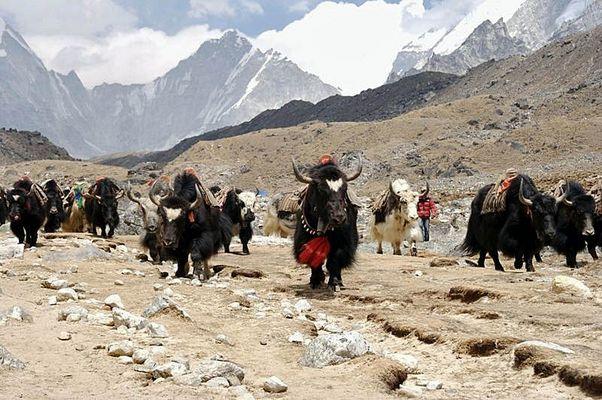 Yak-Herde auf dem Rückweg vom Everest-Bascamp