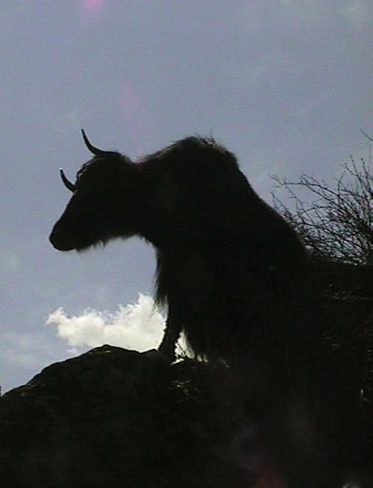 Yak silhouette