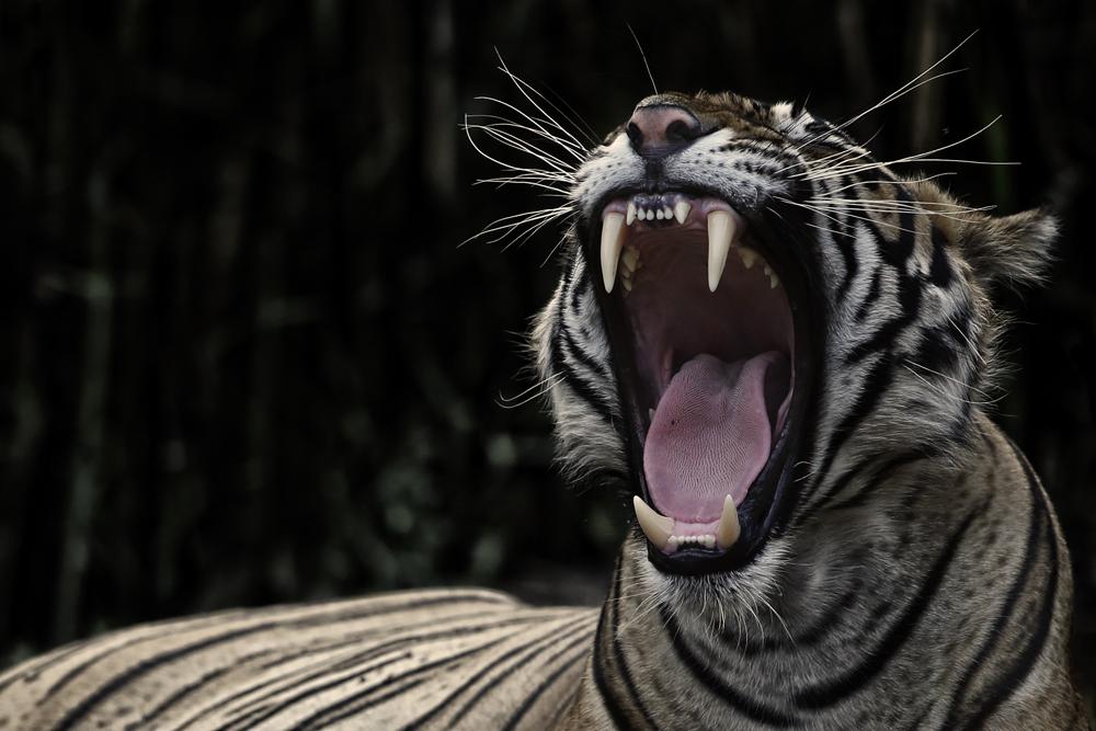 Yawning.