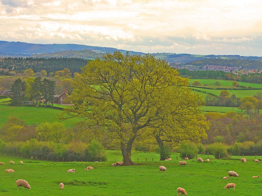 Ye Old Oak Tree 2