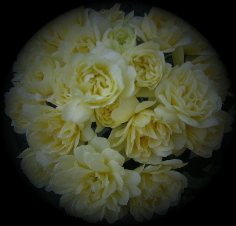Yellow Banksia Rose