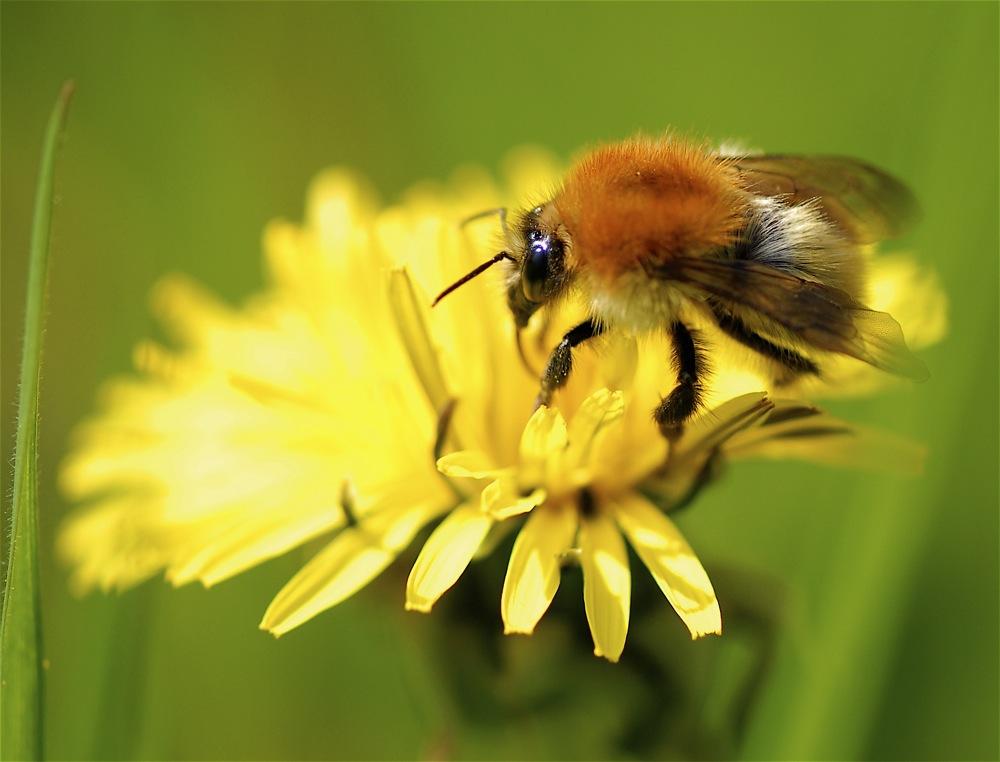 yellow bee
