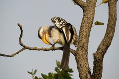 Yellow-billed Hornbill (Gelbschnabeltoko)
