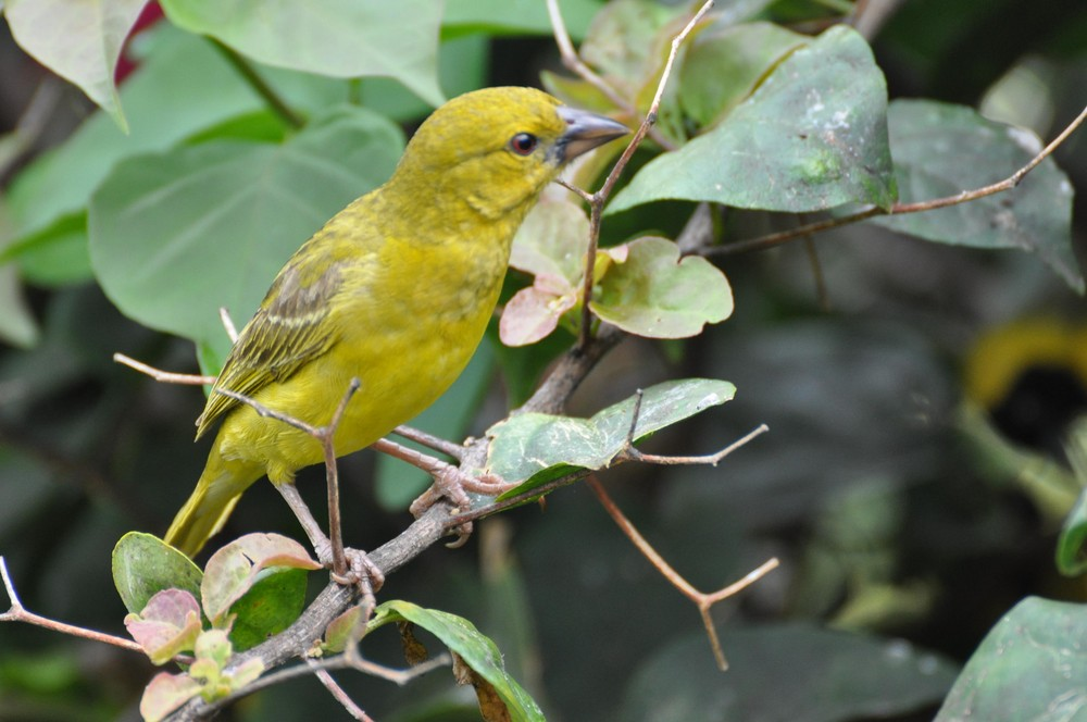 yellow bird benguera island