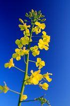 Yellow-Blue Dream