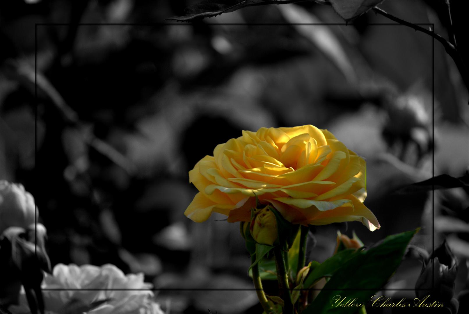 Yellow Charles Austin