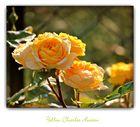 Yellow Charles Austin- Rose