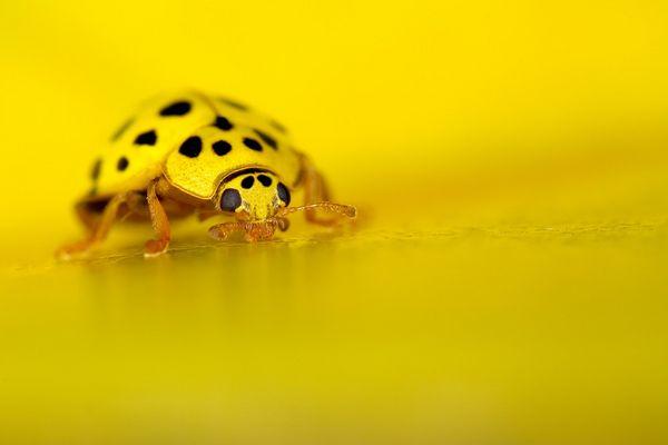 Yellow Cox