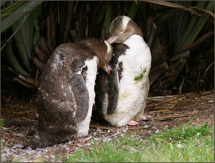 yellow- eyed penguins