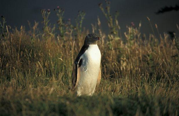 yellow eyed pinguin