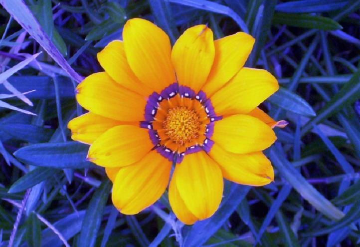 Yellow Flowers Most Beautiful Gazania