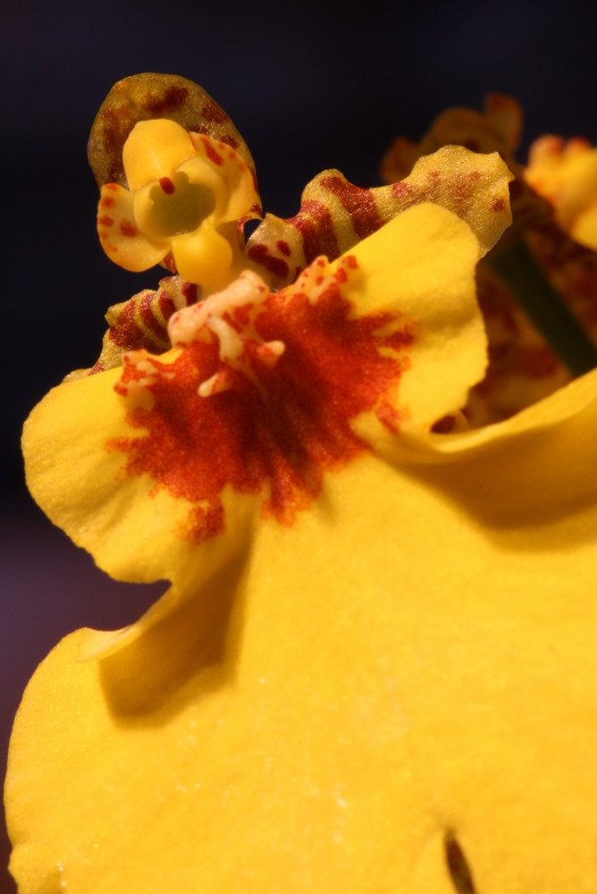 Yellow Orchidee