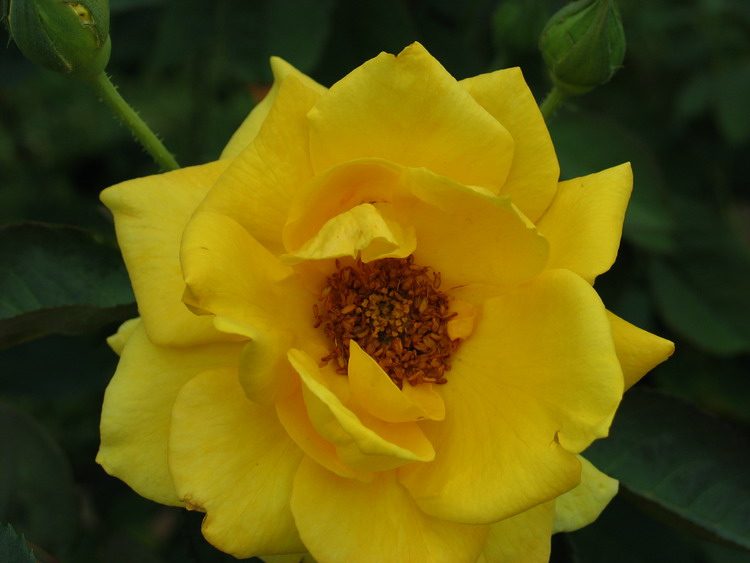 Yellow Rose ...