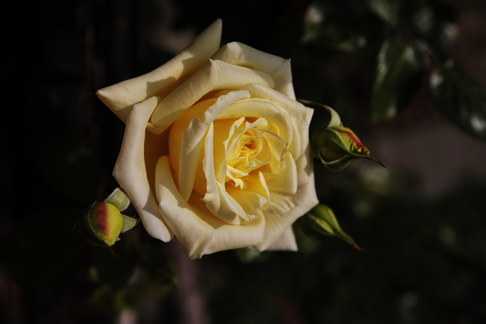 ...Yellow Rose...