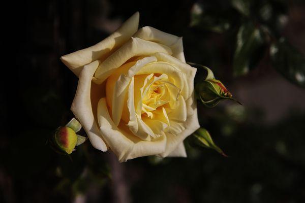 ...Yellow Rose...