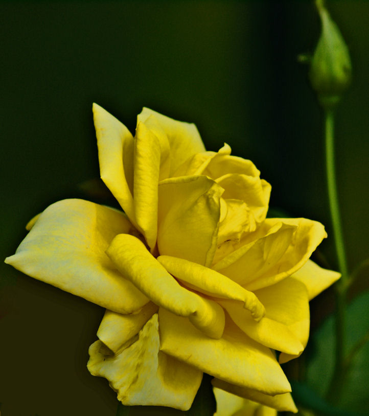 Yellow Rose of Texas 1