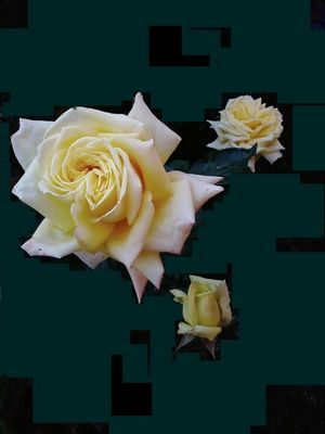 Yellow roses...