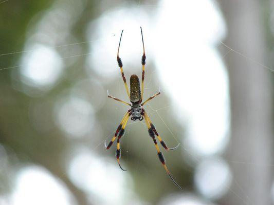 Yellow Silk Spider in Florida