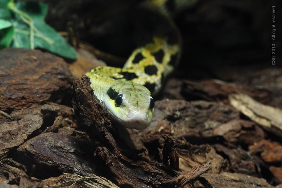 ... Yellow Snake...