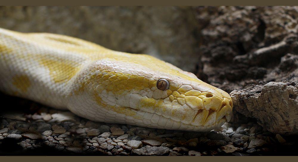 yellow snake...