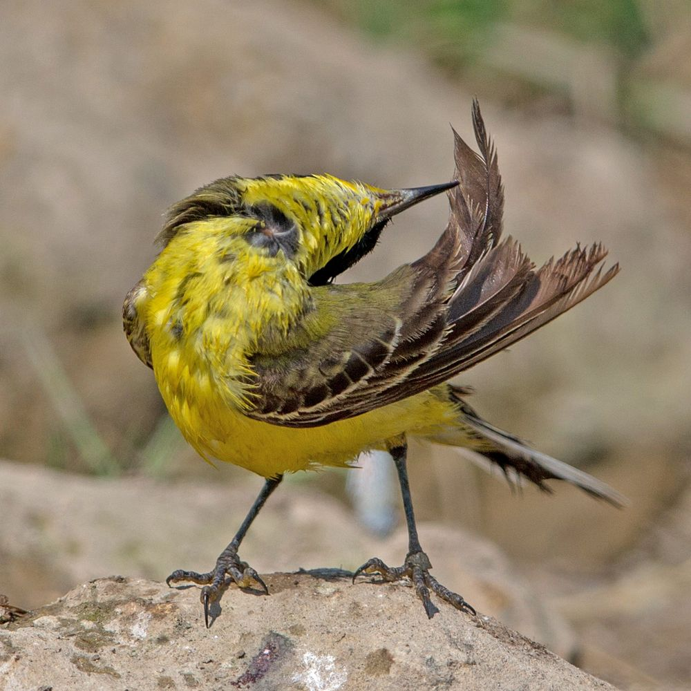 Yellow wagtail (excentric)