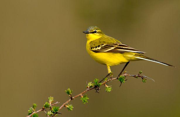 Yellow Wagtail,Motacilla Flava Flava