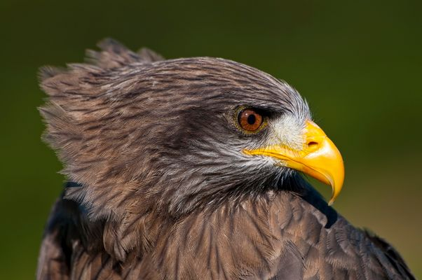 Yellowbilled Kite, South Africa