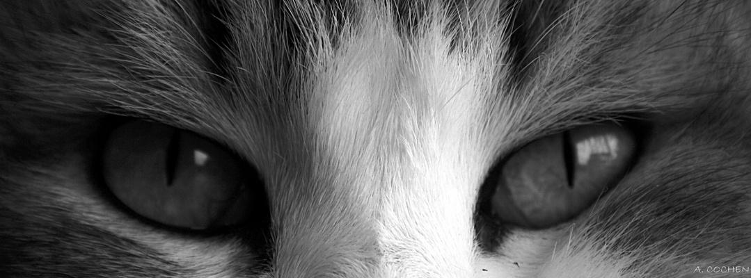 Yeux de Lynx.