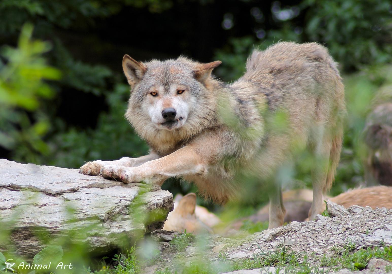 Yoga-Wolf