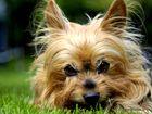 Yorkshiere Terrier
