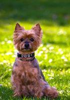 Yorkshire Terrier Daisy, Birthday Portrait