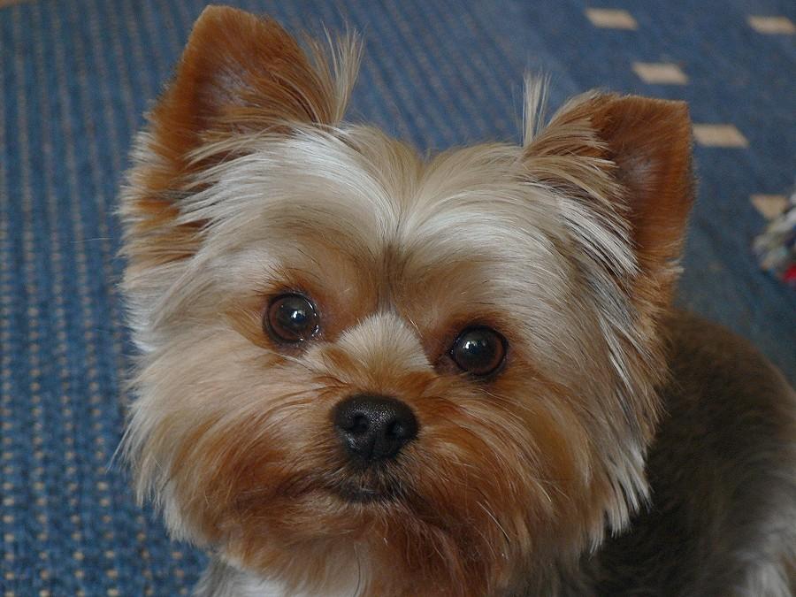 Yorkshire-Terrier Sari