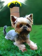 yorkshire terrier Smudge Painting