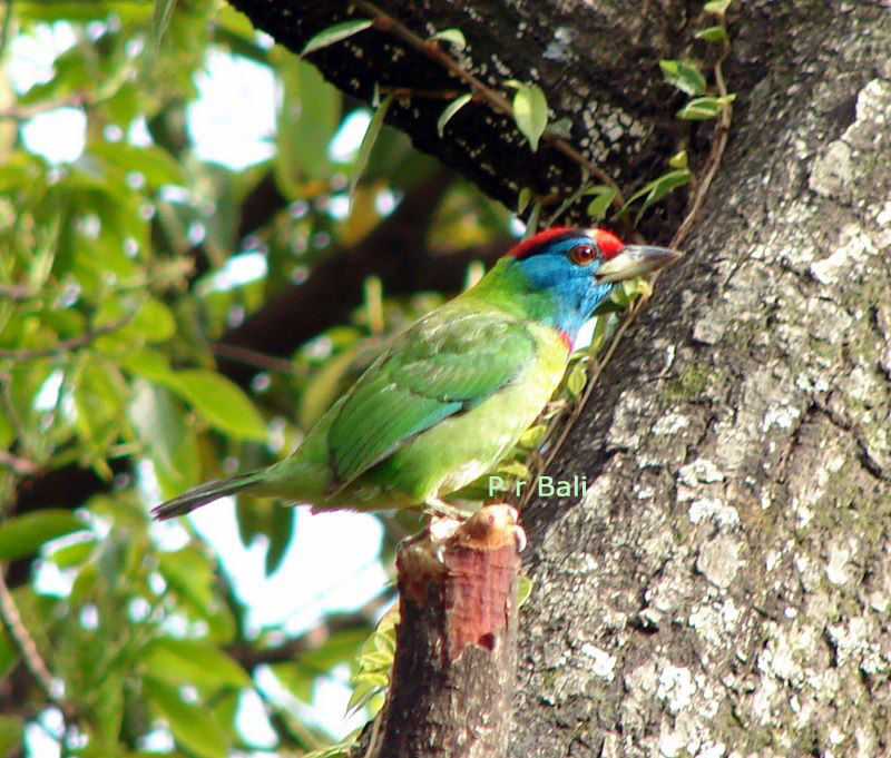 Young Blue-throated Barbet