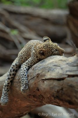 Young leopard resting on a branch